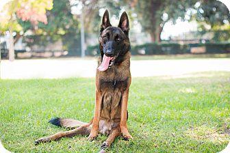 Belgian Malinois Mix Dog for adoption in Los Angeles, California - Bert