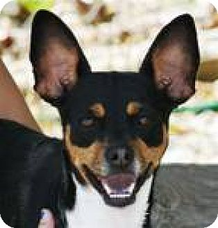 Beagle/Terrier (Unknown Type, Medium) Mix Dog for adoption in Newburgh, Indiana - Rosie cute