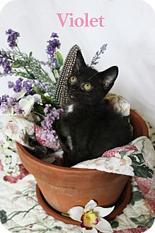 Domestic Shorthair Kitten for adoption in Charlotte, North Carolina - Violet