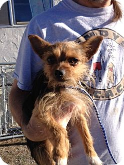 Yorkie, Yorkshire Terrier/Chihuahua Mix Dog for adoption in Cedaredge, Colorado - Rolo