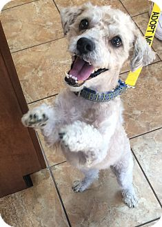 Cockapoo/Poodle (Miniature) Mix Dog for adoption in Oak Ridge, New Jersey - Dudley