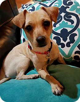Chihuahua/Dachshund Mix Dog for adoption in San Diego, California - Trina
