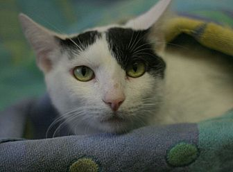 Domestic Shorthair Cat for adoption in Canoga Park, California - Hutch
