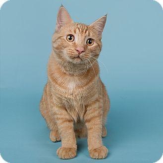 Domestic Shorthair Cat for adoption in Wilmington, Delaware - Pumpkin