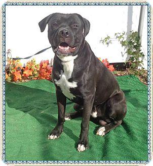 Labrador Retriever/Boxer Mix Dog for adoption in Marietta, Georgia - BRODY