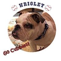 Adopt A Pet :: Wrigley - Park Ridge, IL