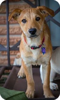 Terrier (Unknown Type, Small) Mix Puppy for adoption in Houston, Texas - Brownie