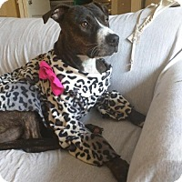 Adopt A Pet :: Holly - Lafayette, CA