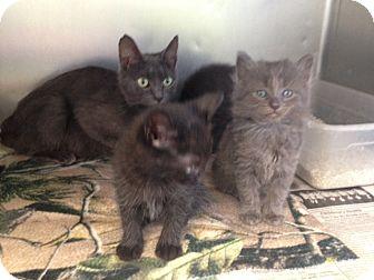 Domestic Mediumhair Kitten for adoption in Thomaston, Georgia - Lace's Girl
