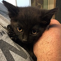 Domestic Shorthair Kitten for adoption in Loogootee, Indiana - Faye