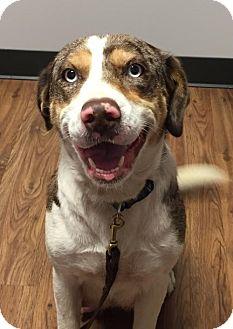 Catahoula Leopard Dog Mix Dog for adoption in Hillsboro, Missouri - Chloe