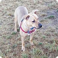 Labrador Retriever Mix Dog for adoption in Fort Collins, Colorado - COURTESY POSTING - Daisy