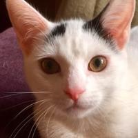 Adopt A Pet :: Lydia - Independence, MO