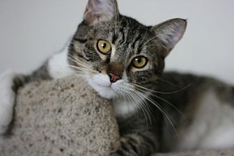Domestic Shorthair Cat for adoption in Canoga Park, California - Robin Hood