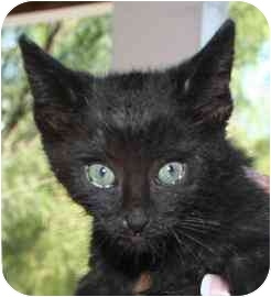 Domestic Shorthair Kitten for adoption in tucson, Arizona - Pixie