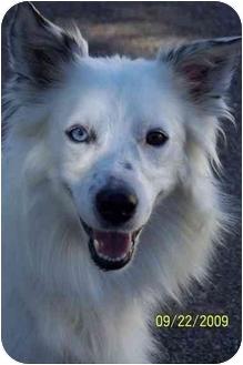 Border Collie Dog for adoption in Hayden, Idaho - Princess