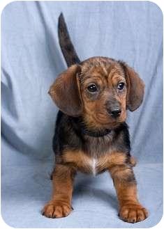 Dachshund/Terrier (Unknown Type, Small) Mix Puppy for adoption in Anna, Illinois - DUMPLIN'