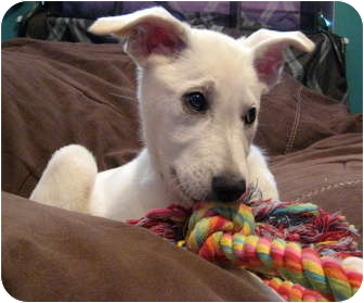 Great Pyrenees/German Shepherd Dog Mix Puppy for adoption in Oklahoma City, Oklahoma - Salina fostered in Lawton area