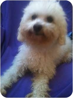 Poodle (Miniature) Dog for adoption in Long Beach, California - ELLIOTT