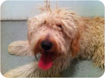 Wheaten Terrier/Standard Poodle Mix Dog for adoption in Long Beach, New York - Harvey