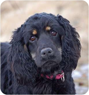 Cocker Spaniel Dog for adoption in Mora, Minnesota - Blossom