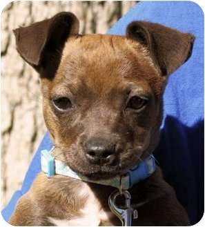 Chihuahua/Terrier (Unknown Type, Small) Mix Dog for adoption in San Marcos, California - Coco