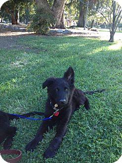 German Shepherd Dog Mix Puppy for adoption in Torrance, California - BENNIE