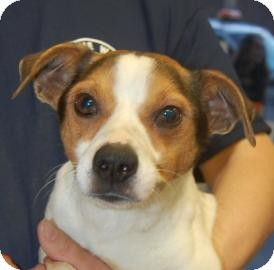 Jack Russell Terrier Mix Dog for adoption in Brooklyn, New York - Lee