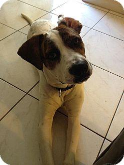 Pointer/Boxer Mix Dog for adoption in hollywood, Florida - dixie