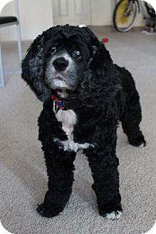 Cocker Spaniel Dog for adoption in Gainesville, Florida - Sassy