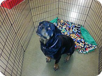 Rottweiler Dog for adoption in Davison, Michigan - Prada