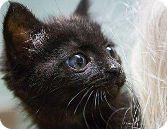 Domestic Shorthair Kitten for adoption in Bulverde, Texas - Halle