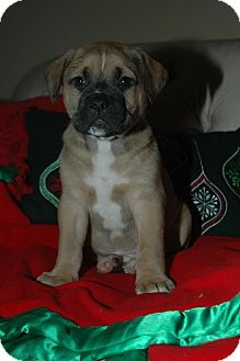 Boxer/Mastiff Mix Puppy for adoption in CHAMPAIGN, Illinois - ISAAC