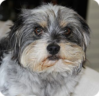 Shih Tzu/Yorkie, Yorkshire Terrier Mix Dog for adoption in San Pedro, California - Chappy