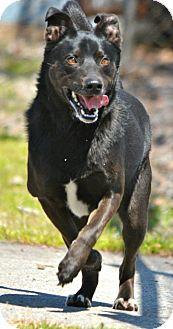 Australian Kelpie/Labrador Retriever Mix Dog for adoption in Jacksonville, Arkansas - T Bone