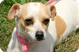 Jack Russell Terrier/Chihuahua Mix Dog for adoption in Pennigton, New Jersey - Olive