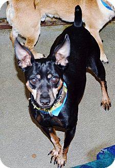 Miniature Pinscher Mix Dog for adoption in Battle Creek, Michigan - Jack