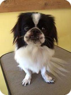 Pekingese/Shih Tzu Mix Dog for adoption in Gainesville, Florida - Jacob