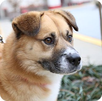 Collie/Chow Chow Mix Dog for adoption in Bowie, Maryland - Adopted! Charlie