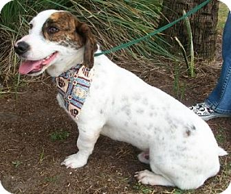 Basset Hound Mix Dog for adoption in Port St. Joe, Florida - Zane