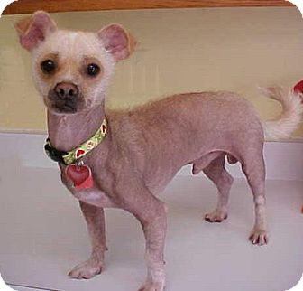 Chinese Crested Mix Dog for adoption in Dahlgren, Virginia - Bam Bam - 16 lbs