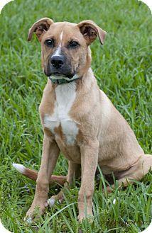 Boxer Mix Dog for adoption in Norwalk, Connecticut - Roman