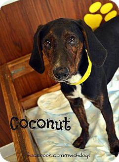 Plott Hound Mix Dog for adoption in Toledo, Ohio - Coconut