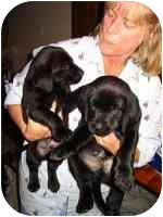 Labrador Retriever/Great Dane Mix Puppy for adoption in Brookville, Ohio - Lab/GreatDane Pups- 2 left