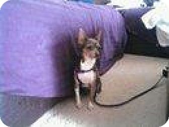 Chihuahua Dog for adoption in Newburgh, Indiana - Jackie blue