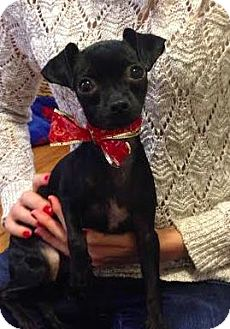Chihuahua Mix Puppy for adoption in Manhattan, New York - Jia