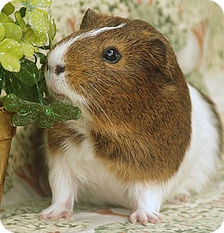 Guinea Pig for adoption in Santa Barbara, California - Chippie