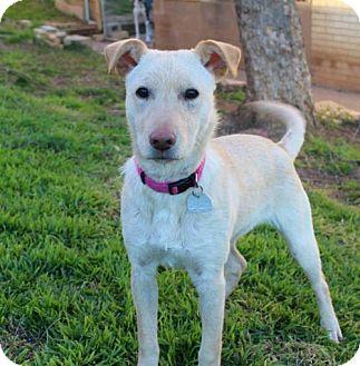 Labrador Retriever Mix Dog for adoption in Shreveport, Louisiana - Prancer