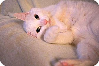 Domestic Mediumhair Cat for adoption in Toronto, Ontario - Fergie