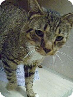 Domestic Shorthair Cat for adoption in Hamburg, New York - Lorenzo